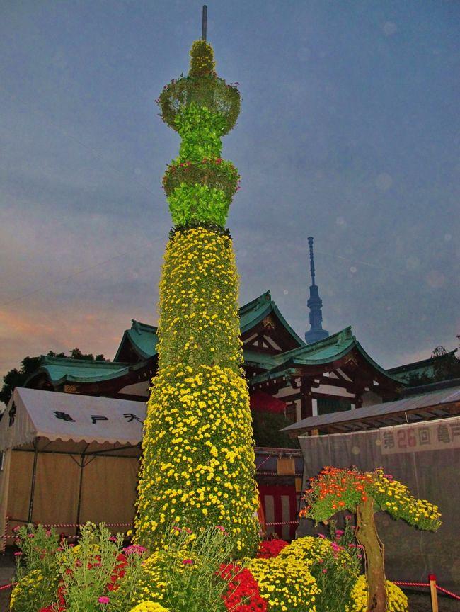 """菊まつり<br />菅公は、梅と共に菊の花を好まれ、数々の和歌を詠まれております。<br />16歳の時に詠まれた「残菊詩」から、天神社では菅公をしのび、宮中で行われていた和歌・連歌などを詠む""""残菊の宴""""を催しておりました。<br />近年は、本殿の正面を取り囲むように菊を展示して菅公をお慰めすると共に参拝の方々にも鑑賞していただいております。<br />*(残菊とは旧暦の重陽の節句(9月9日)以降の菊を意味する)<br />平成23年度 菊まつり日程:10月23日(日)〜11月20日(日)   <br /> 本殿の正面を取り囲むように菊を展示して菅公をお慰めすると共に参拝の方々にも鑑賞していただいております。 (下記より引用)<br /><br />亀戸天神社については・・<br />http://www.kameidotenjin.or.jp/<br /><br />菊まつりについては・・<br />http://www.youtube.com/watch?v=Tyig_VOz-20<br /><br />"""