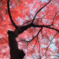 真赤に染まった平林寺の紅葉