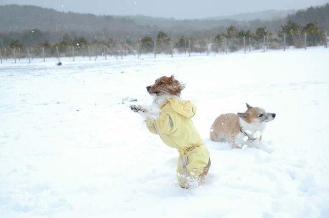 【レジーナの森・年越しキャンプ*1日目】<br />ワン連れで行けるリゾート施設「羽鳥湖高原レジーナの森」。<br />すっかりお気に入りで何度か訪れています。が、真冬はお初!<br />冬はあまり出かけないので、スタッドレスはナシ。。。<br />急に、雪遊びしたい!と、チェーンを購入!<br />大晦日、元旦はイベントもあり楽しく過ごしました(o^-^o)<br /><br />◆◇この旅行記のコンテンツ◆◇<br />&gt;&gt;ランチは御食事処「板小屋」で白河ラーメン<br />&gt;&gt;ドッグランでおおはしゃぎ<br /><br />●羽鳥湖高原レジーナの森<br />http://www.reginaforest.com/<br /><br />*--レジーナの森・年越しキャンプINDEX--*<br />▼犬連れ雪遊び&のんびり温泉*レジーナの森・年越しキャンプ(1)<br />http://4travel.jp/traveler/ramoana/album/10637745/<br />▼鏡開きと餅つき元旦イベント&スノーシュー*レジーナの森・年越しキャンプ(2)<br />http://4travel.jp/traveler/ramoana/album/10638533