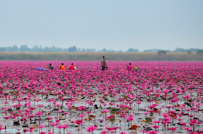 """タイ政府観光庁(TAT)が発行している、月刊国内旅行誌、オーソートーの2011年10月号を立ち読みしたら、湖面のほぼ全体が、ピンクの蓮の花で覆われている湖の写真が載ってました。その時、直ぐに""""この目で見てみたいぃ!""""と思いました。その後、ネットで調べると、見頃は、1月半ば・・・とか。丁度、その頃は、""""蓮の花満開祭り""""みたいな催しもあるようでした。洪水も収まり、年が明け、絶好の行楽の季節、やっと行ってきました。ついでに足を延ばして、1年ほど前に出来たばかりの新しい県、ブンカン県に住む友人も、初めて訪ねる事にしましたぁ。"""