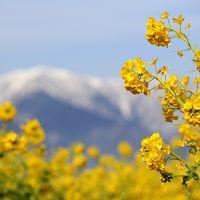 琵琶湖畔から一足お先に春の便り♪ 冠雪に映えるかんざきはなな