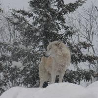 北海道初めての旅・・・・・・旭山動物園・・・・・ペンギンさんのお散歩・・・・・見えましたよ^0^・・・・でも今日は狼一家です^0^