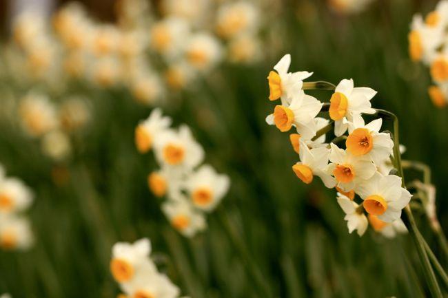 大阪府で唯一の村である千早赤阪村の水仙畑へ行ってきました。<br />地元の人々がこつこつと植え育ててきた約5万本の水仙が斜面に咲いていました。<br /><br />水仙の観賞後は蝋梅を求めて府立花の文化園へ。<br />