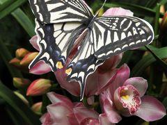 Solitary Journey [993] ランの花言葉「幸せが飛んでくる」は蝶が飛ぶような花姿から<春をよぶ♪ランらんまつり>広島市佐伯区