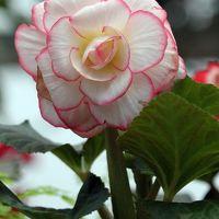 Solitary Journey [994] 色鮮やかな熱帯の花'ベゴニア'&ロウ細工のような艶のある花'蝋梅'<広島市植物公園>広島市佐伯区