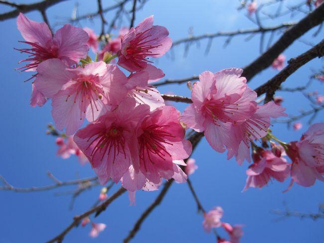 2012年最初の旅行は、日本一早い桜を見に沖縄へ行きました。<br />1月の沖縄は暖かく、すでにビーサンの人もいてビックリでした。<br />桜祭りに合わせて行きましたが、まだ少し早いくらいでした。<br /><br />毎回食べる沖縄ソバは、今回3日続けて食べましたが、さすがに3日目は少し飽きてきました。(笑)<br /><br />今回は、JALのおともdeマイルを使い、1人は10000マイル使用しもう1人は25340円で航空券ゲットです。<br />宿は、スーパーホテル名護に2泊で13660円。(2人分、300円はじゃらんポイント使用)<br />口コミではかなり評判が良かったですが、部屋がすご〜く狭いです。<br />無料の朝食はとても満足でしたが、スーツケースを広げる場所もないくらい狭い部屋はちょっと辛かったです。<br />ホテルで寝るだけの人はいいかもしれませんが。<br />レンタカーはフジレンタカー3日間で7700円。(ガソリン10&#8467;付)<br />