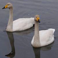 大塚池公園へ白鳥を観に行きました。