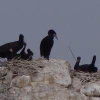 海鵜の繁殖地 二ツ島の北島と海鵜の写真