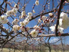 小田原フラワーガーデン 渓流の梅林 【やっぱり観梅は晴れた日が最高!】
