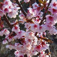 イズノクニサクラ・・・ここでしか見れない桜 守山西公園
