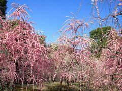 子どもと一緒に行く、枝垂梅が咲き乱れる城南宮