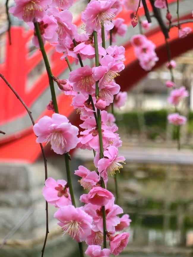 今年は梅を見に出かけてみようかなぁ。午後からふらっと行ける近場でと、湯島天神、小石川後楽園、亀戸天神などの開花状況を時々チェックしていたけれど、今年は待てど暮らせど梅の便りが聞こえて来ない。<br /><br />今年の冬はとびきり寒かったなからなー。今年は全国の梅祭りはどこも肩すかしを食ったことでしょう。<br /><br />そうこうしているうちに日本の運命を変えたあの辛い3月11日が巡って来て、梅を見に行く気持ちはしばらくどこかへ吹き飛んでいました。<br /><br />先日、久しぶりにネットで開花状況をチェックしてみたら、亀戸天神社(かめいどてんじんしゃ)の梅が見頃になったとの情報。亀戸天神の梅祭りは2月4日〜3月4日で、すでに10日も前に終わってしまっています。ホームページには「梅祭り期間は終了しましたが、本年は近年にはない寒い日が続いたため、梅の見頃は3月中旬から下旬になると思われます」と書いてありました。<br /><br />3月に入ってここのところバタバタしていたけれど、今日なら行ける。用事で街へ出かけたついでに、午後から足を伸ばして亀戸天神社へ梅見に行って来ました。<br /><br />満開の梅を期待していたのに、今年は花つきが良くなかったのか、木に咲いた花はぱらぱらで意外に地味。最初はちょっとがっかりしたのですが、周りのお客さんたちは「きれいねー」って感激してる。自分の感性が足りないのかと反省しながら見て行くうちにだんだん気持ちも盛り上がり、最後は花盛りのしだれ梅のオンパレードで満足の内に梅見を終えました。<br />