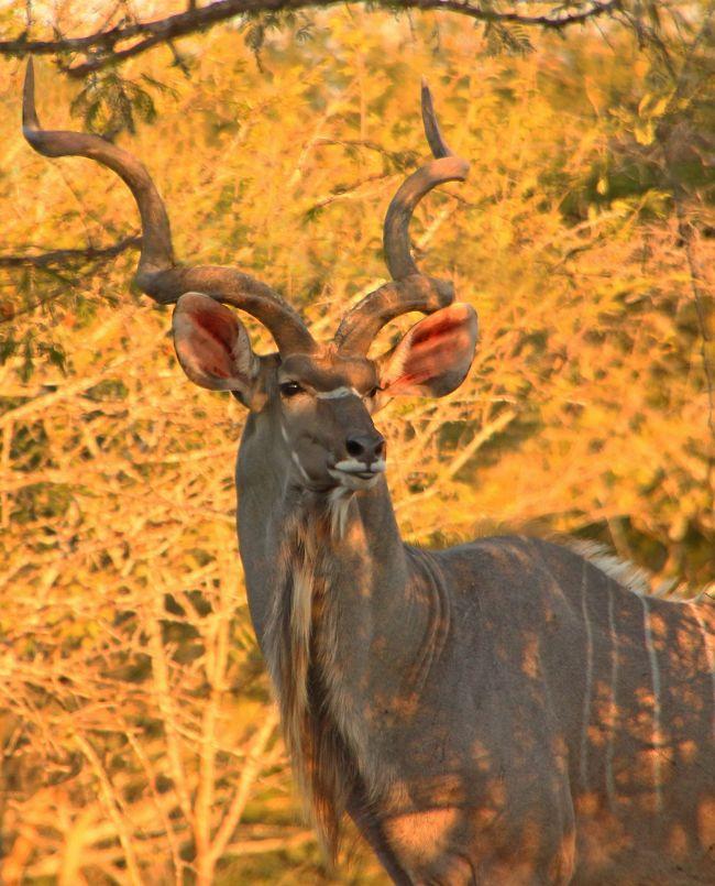 昨年8月、ずっと目標にしていたタンザニアの<br />ルアハ国立公園を訪れることができ、<br />サファリ旅行はもう終わりかと思っていました。<br /><br />が、「アフリカ行きたい病」は予想以上に<br />重症化していたようで帰国後しばらくして<br />他の地域のサファリについて調べる日々・・・<br /><br />日本からのサファリ旅行といえば、やはり東アフリカが一般的。<br />ケニアに代表される8日間以上の行程が一般的なようです。<br />自分もこれまで何度か訪れました。<br /><br />それはもう素晴らしい体験をできたのですが、<br />日本の平凡なサラリーマンとして2つ気になる点があります。<br /><br />①行程の問題<br />ケニア、タンザニアのサファリですと現地に到着して<br />1泊した後、翌日に国立公園に入ることがほとんどです。<br />市街地で前泊(1泊)+公園内泊数+往復移動3日=全行程となるので<br />例えば8日間の行程とすると国立公園内に<br />宿泊できるのは4泊になります。<br /><br />なかなか8日間以上の大型連休を取りづらい<br />日本のサラリーマンとしてワガママを言わせてもらえれば<br />現地到着日にそのままサファリを楽しみたい(^^;<br />サファリを最優先とする場合、その方がずっと効率的です。<br /><br />②旅費の問題<br />ハイシーズンにしか休みを取れない者としては<br />永遠の課題。航空券代が高額になってしまうのは日々の<br />節約でなんとかするとして、あとは現地宿泊の相場です。<br /><br />東アフリカの国立公園内のロッジはロケーションからゲームドライブ、<br />サービスに至るまで、夢のような体験ができます。<br />が、1泊300$以上がほとんど。<br />サラリーマン1人旅には少々、いやかなりの贅沢。<br />とても気楽に行けるものではありません。<br />もっとリーズナブルな宿に泊まってサファリをしたい!<br /><br /><br />①②を満足させてくれる、そんな国はないだろうか・・・<br /><br /><br /><br />①は行き先を南アフリカ・クルーガー国立公園周辺にすれば<br />問題解決。<br />これは以前に訪れた「シュクドゥ・ゲーム・ロッジ」で経験済。<br />2日目の昼には保護区に到着できます。<br />※ボツワナも夕方くらいに到着できるのですが<br /> 旅費が高くつくので断念。<br /><br />続いて、保護区と宿の選定。<br />インターネットで調べに調べた結果、南アフリカ・<br />クルーガー国立公園近くの「MarlothPark」にある<br />1軒のロッジに出会いました。<br /><br />・・・「TuracoLodge」(http://www.turacolodge.com/)<br />そこは夫婦が経営する僅か3部屋の小さなロッジ。<br /><br />サイトからメールで連絡すると、オーナーのダニエルさんから<br />「是非来て!」という内容でどしどしメールをいただきました。<br />(メールの返信がとんでもなく早いのです・・・!)<br /><br />さらに予約後にも<br />「今日は庭に大きなクドゥがやってきたよ」と<br />写真まで送ってくれ、その親切な対応からここに決めました。<br /><br /><br />あとは行程の問題。<br /><br />3泊6日で行きたかったのですが、仕事の都合で<br />弾丸の2泊5日になってしまいました。<br /><br />周囲からの「弾丸すぎてもったいない!」という反論をよそに<br />南アフリカ・マールロスパークへ行ってきました(^^;<br /><br /><br /><br /><br /><br /><br /><br />