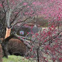 伊豆の国市 市民の森浮橋の梅