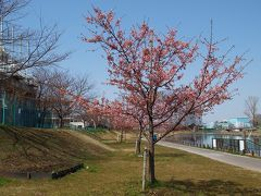 墨田区で見る河津桜