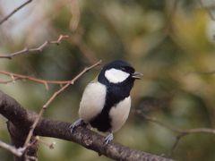 横浜市内で冬に観察できた野鳥は例年より少なめでした 2012年