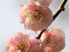 やっと春が来た:遅かった梅の花も咲き揃い
