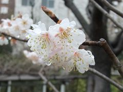 墨田区・緑と花の学習園でナポレオン(桜桃)の花見っけ