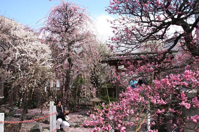 やっと春が来た!スカイツリーをバックに梅の花と早咲きの桜を楽しみました。<br />スカイツリーの開業まで2ヶ月足らずとなり、何かと注目される墨田区にある香梅園と向島百花園へ行って来ました。<br />香梅園は、今でこそこじんまりとした梅園ですが、江戸時代には将軍も御成りになった梅の名所「小村井梅園」があったそうです。