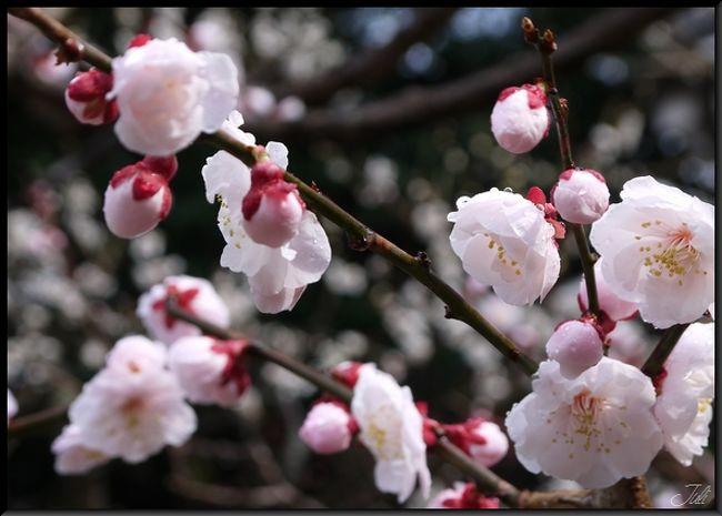 25日の天神さんの市に行きたくて、念願かなって行ったものの…雨の中の梅見となりました。<br />今年は桜がまだ咲いてなくて、ちょっと残念。<br />来年は晴れた青空の下お花見したいです。