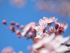 桜?梅? ピンクの花の謎 in バンクーバー