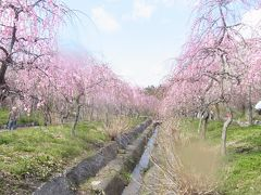 お花見(2012年4月)~いなべ市農業公園で、梅見~