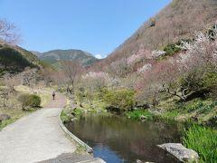 幕山ハイキング 梅と桜を楽しむ