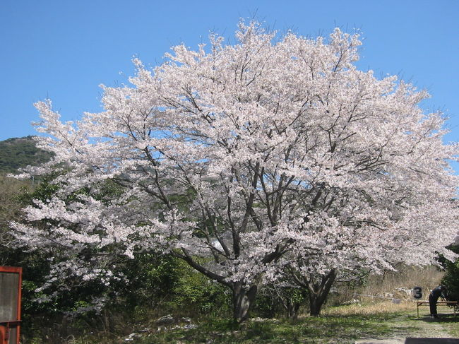 桜満開の好日、4月7日有田町丸尾の幸楽窯での<br />観桜イベントに参加しました<br /><br />・有田工業高校吹奏楽のセレモニー・ロック<br /> &amp;アコースティックギターコンサートなどの催し、<br /> スタンプラリーでは窯元内部を観察できました<br /><br />一番珍しく想えたのは、<br />トンネル窯(自動焼成)の設備です<br />染付用と色絵付の2種類の窯を拝見できました<br />(NHK放映のドラマ)<br /><br />窯元社長さんから直に説明をもらえましたよ<br />ありがとうです♪♪<br /><br />