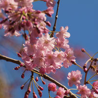 2012 小さいながら 美しい桜の花を見せてくれる 乃木神社 乃木公園 上