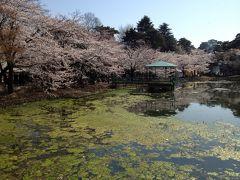 大宮公園に花見に行ってきました。