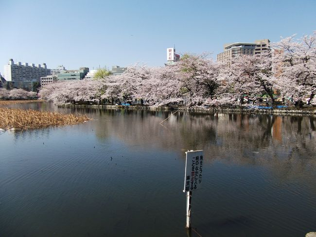 上野の桜、今が盛り