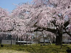 待ってました桜満開!醐醍寺~宇治へ