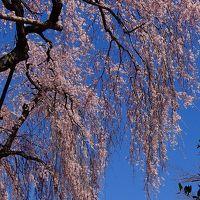 金仙寺の枝垂れ