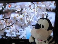 グーちゃん、春の花見合宿に行く!(天晴れ!鴨居三大桜編)