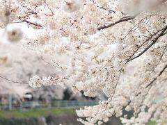 桜の香り流れる川 香流川でのんびりお花見 おいしいカレーとスイーツと共に・・・