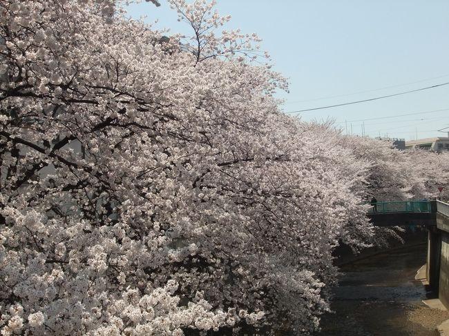 石神井川沿いから城北公園にかけてお散歩しました。<br />桜がとっても綺麗。満開です。<br />この時期は花見の人が沢山出ていて一番賑わう季節です。