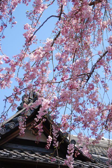 ひとりお花見部 谷中・上野で2012年度 二回めのお花見