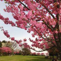 横浜緋桜がいっぱい!本牧山頂公園