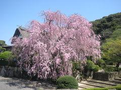 『柿右衛門窯元の枝垂れ桜』