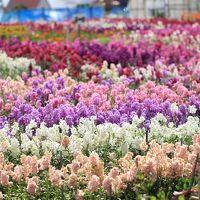 南房総/館山ぐるり旅【15】~花の香りと潮風に包まれた~白間津の花畑