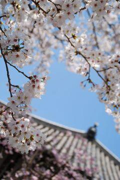 ひとりお花見部 奈良で 2012年度 三回めのお花見① 帯解寺~奈良県庁篇