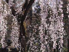 喜多院の庭園・・・見事な枝垂れ桜