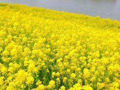 2012/04/13 駅からハイキング:流山、江戸川の菜の花と歴史散策