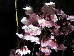 2012年4月の京都 桜三昧前半 二条城~京都御苑