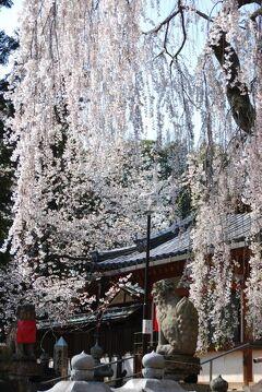 ひとりお花見部 奈良で 2012年度 三回めのお花見② 氷室神社~佐保川~大和郡山お城まつり篇
