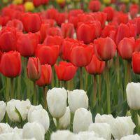 曇り空でも、チューリップは晴れやかに咲いていた~!!