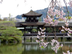 平安神宮は紅しだれ桜の饗宴