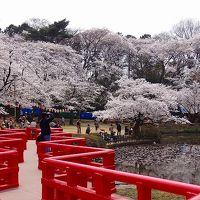 桜の名勝 岩槻城址公園の桜まつり