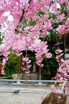 ひとりお花見部 京都で 2012年度 四回めのお花見① 今宮神社~建勲神社~上品蓮台寺~千本えんま堂篇