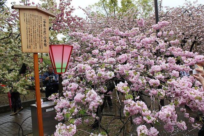 評判通りの素晴らしい桜でした。